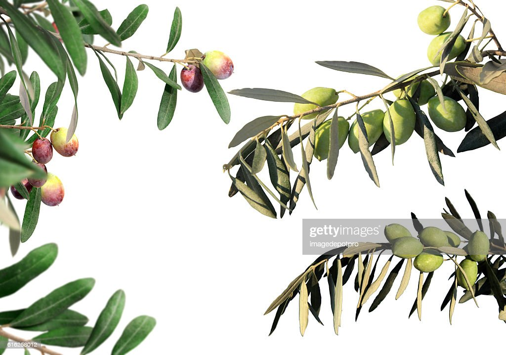 olive tree branches : Stock Photo