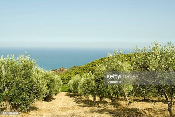 オリーブツリーフィールドには、イタリアのカラブリア