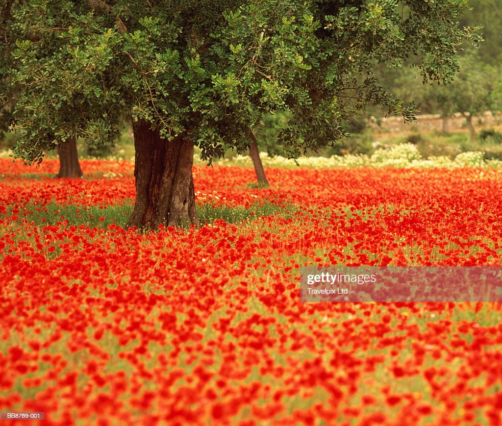 Olive tree growing in field of poppies : Stock Photo
