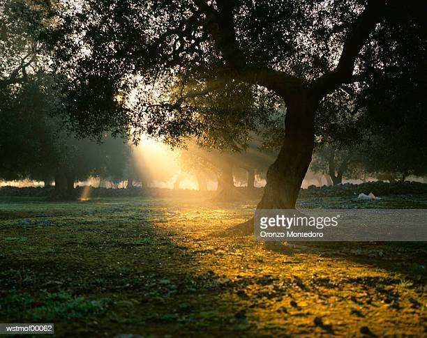 Olive tree in sunrise, Italy
