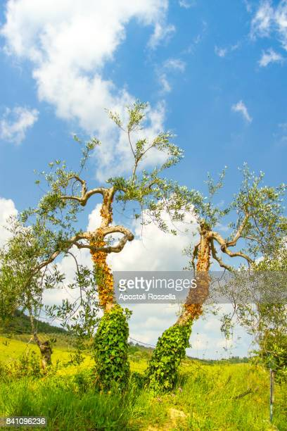 olive tree in Val d'Orcia, Tuscany