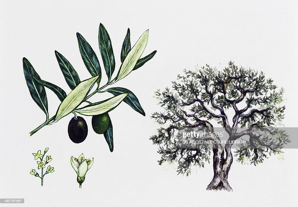 olive tree oleaceae tree leaves flowers and fruit. Black Bedroom Furniture Sets. Home Design Ideas