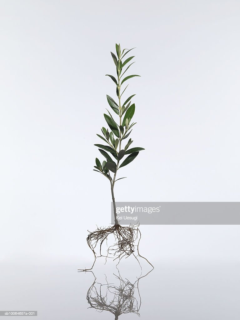 Olive tree (Olea europaea) on white background