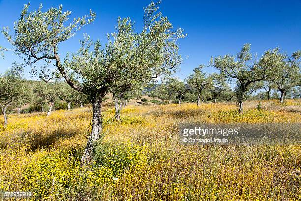 Olive tree orchard and spring wildflowers