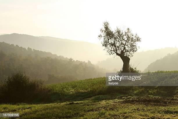 Olivo tree