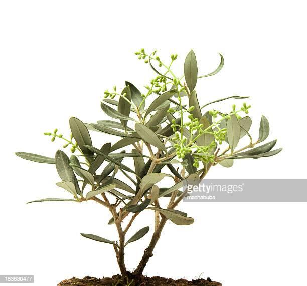 Olivier tree