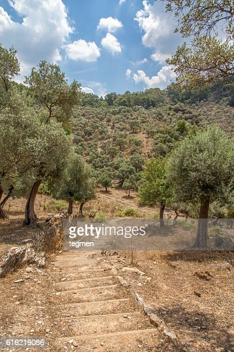Olive Tree : Stock Photo