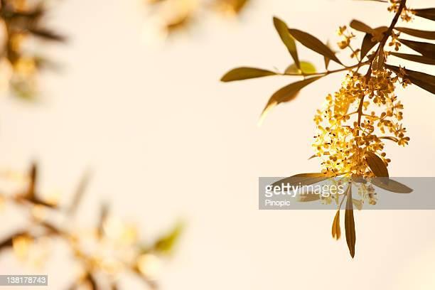 Olive tree avec des fleurs au crépuscule