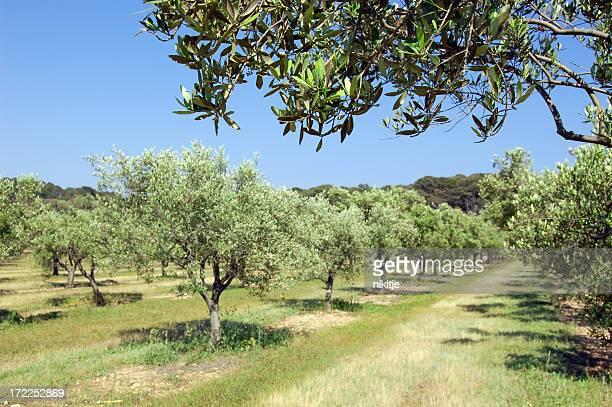 Olivenbäume über in bloom
