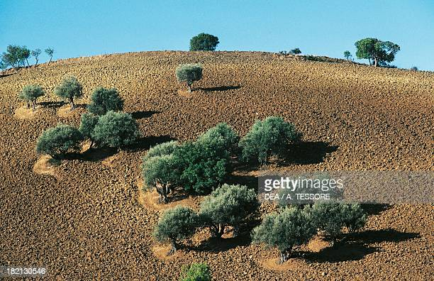 Olive trees around Lercara Friddi Sicily Italy