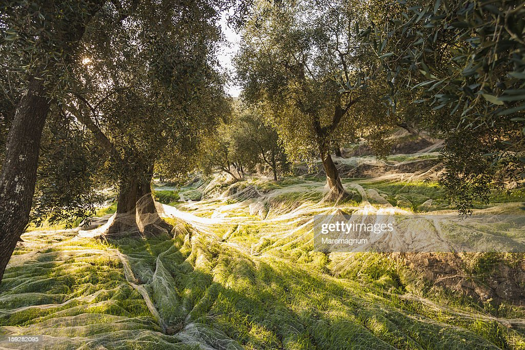 Olive trees during the olive picking : Stock Photo