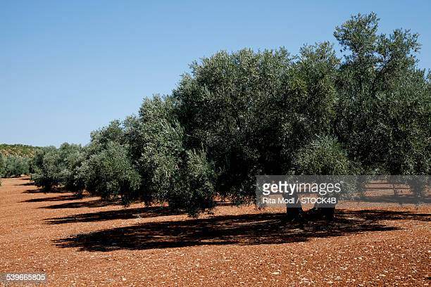 Olive trees in Almogia, Andalusia, Spain