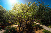 Divine light, sunray in the Gethsemane garden, Mount of Olives, Jerusalem. Biblical place where Jesus was betrayed by Judas