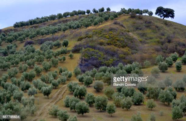 Olive trees in nature in Cadiz, Andalusia