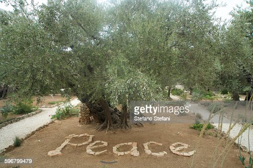 Jerusalem Garden Of Gethsemane Stock Photo Getty Images