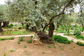 Olive trees in the Garden of Gethsemane