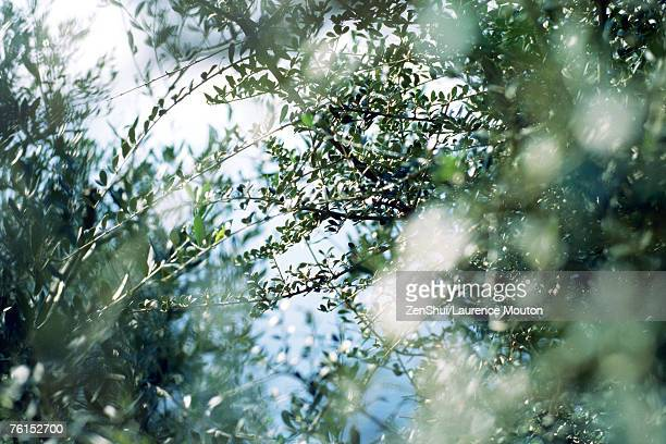 'Olive trees, low angle view of branches'