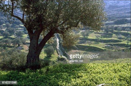 Olive trees, Mallorca : Stock Photo