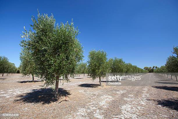Olive Trees Near Dunsborough; Western Australia Australia