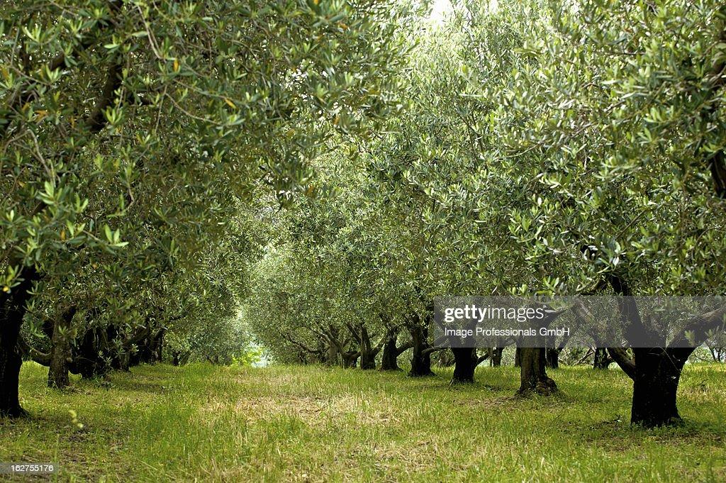 Olive trees near Trieste