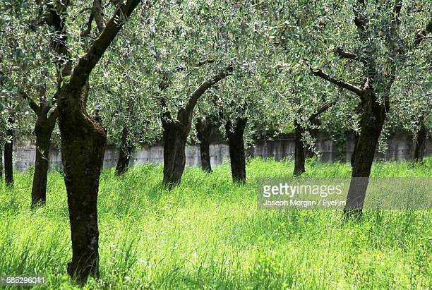 Olive Trees On Green Grass In Orchard