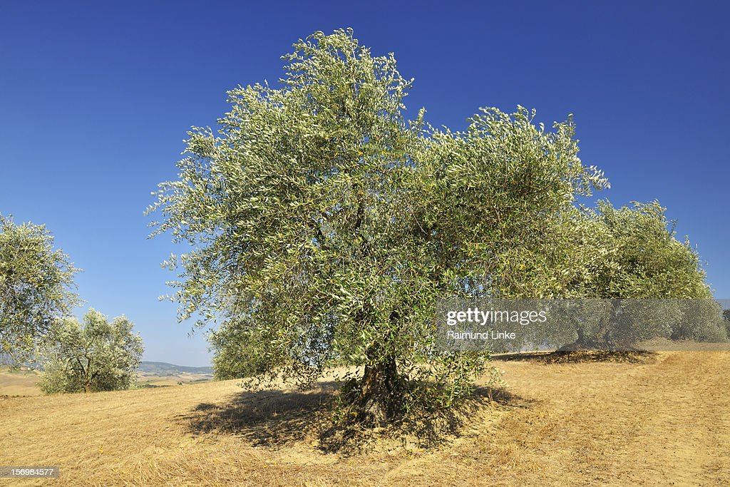 Olive Trees : Stock Photo