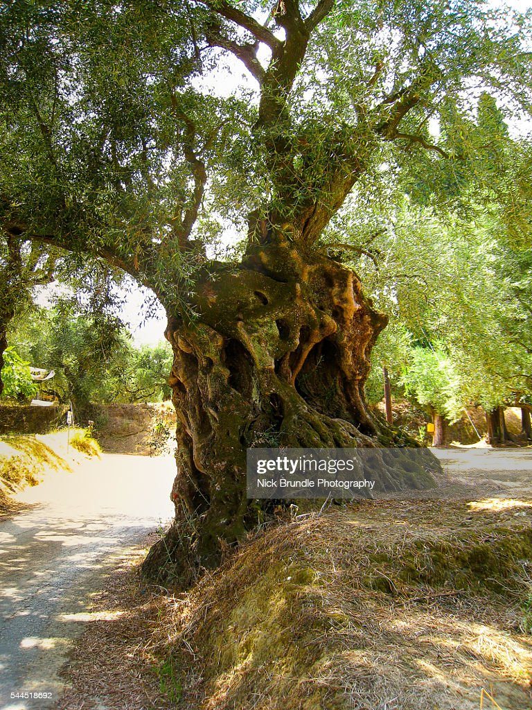 Olive Trees, Zakynthos, Greece