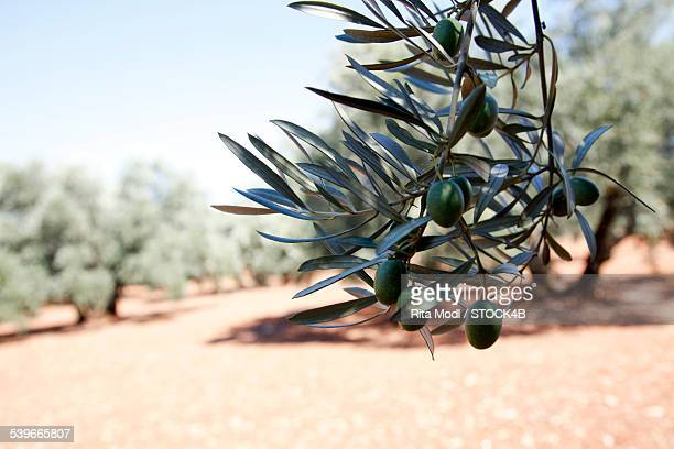 Olive twig in Almogia, Andalusia, Spain