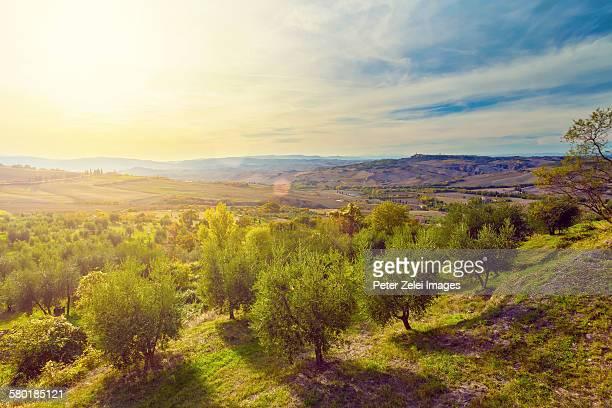 Oliver tree plantation at sunrise in Tuscany