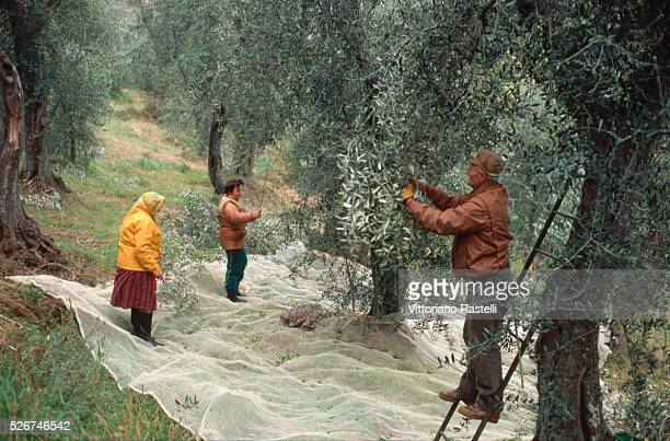 Olives are collected in nets as they are shaken from the trees by harvesters at a grove in Valdiniesole in Italy | Location Valdiniesole Italy
