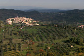 Olives growing in groves beside the medieval town of Seggiano in Tuscany The annual olive harvest took place over an eightweek period in the autumn...