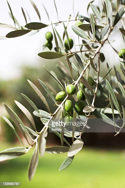 Olives growing on olive tree