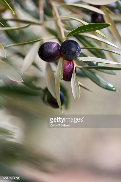 Olives growing on plant in olive grove, close up