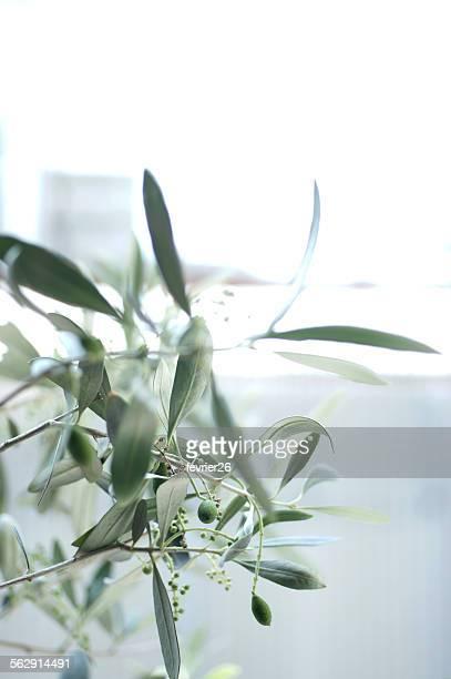 Olives growing on tree