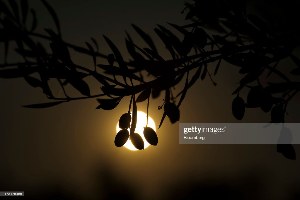 Olives hang from the branch of an olive tree growing near the Carbonell SA plant, operated by Deoleo SA, in Alcolea, Spain, on Monday, July 8, 2013. JPMorgan was asked to explore sale of more than 30% stake in olive oil company Deoleo, Reuters reports, citing two people close to the deal. Photographer: Angel Navarrete/Bloomberg via Getty Images