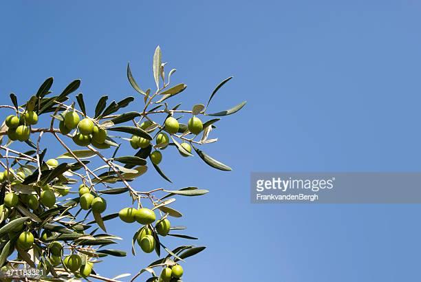 Olives in einem Baum