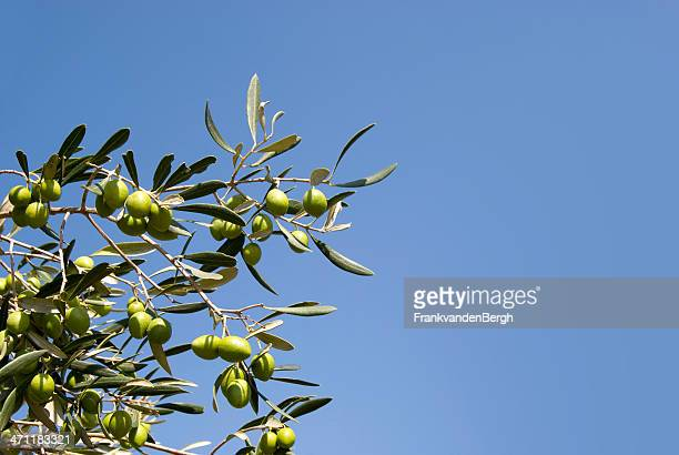Olives dans un arbre