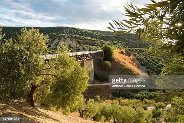 Olives in Jaén.