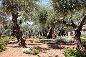 A tree in the Garden of Gethsemane where Jesus prayed before the crucifixion.