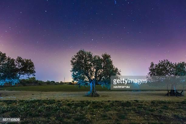 Olives arbres de nuit