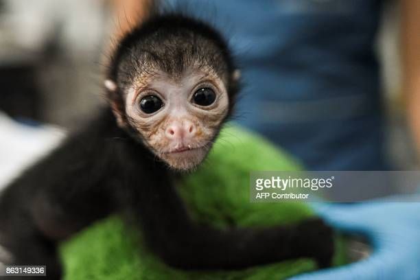 Olivia a 25dayold spider monkey which apparently fell a couple of metres and whose mother wouldn't let anyone near when she was found unconscious...