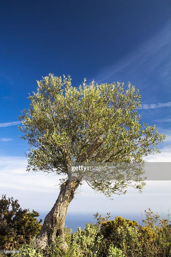 Olivo - El arbol Rey de Andalucía...