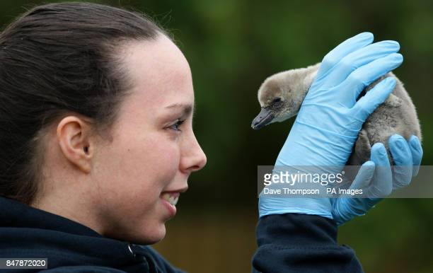 Olympic medal hopeful Beth Tweddle takes a break from training to meet 'Tweddle' one of Chester Zoo's new baby Humbolt penguins Keepers have named...