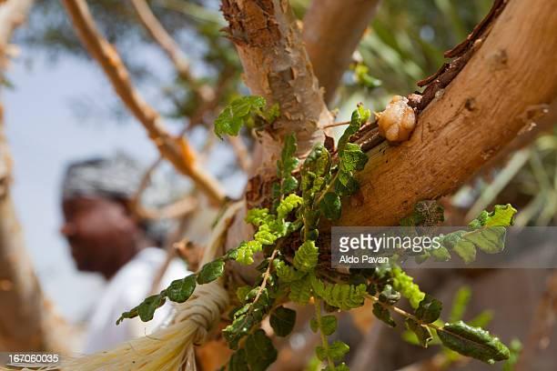 Oman, Bidiyyah, plant of Frankincense