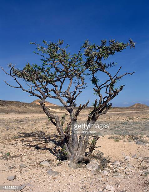 Oman Near Salalah Frankincense Tree in desert landscape