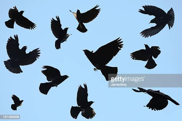 Unheilschwanger Black Vögel Umrisse auf blauer Himmel; Auch Rotdrosseln Amseln sich um die besten Äste