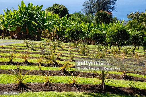 On a demonstration farm in the North Kona District of the Big Island, pineapple plants are grown on a terraced hillside with banana trees, coffee trees and the Pacific Ocean in the background : Stock Photo