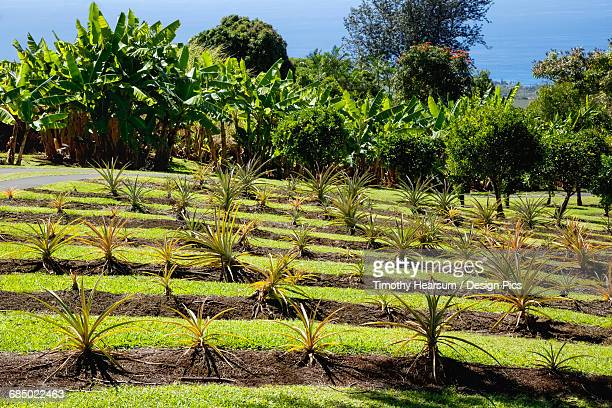 On a demonstration farm in the North Kona District of the Big Island, pineapple plants are grown on a terraced hillside with banana trees, coffee trees and the Pacific Ocean in the background