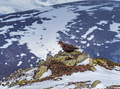 A Male Red Grouse on the spring snowfields above Glenshee in Scottish Highlands looking for food