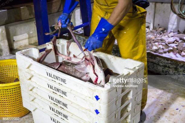 Once sorted the fish are gutted and boxed with ice to keep fresh and ready for market Luke is a Folkestone based fisherman out trawling for a 12 hour...